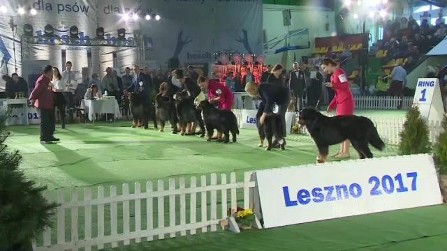 Wideo1: Psie piękności na międzynarodowej wystawie psów w Lesznie